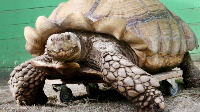 Stokilový želvák Helmuth trpí artritidou, dostal speciální invalidní vozík