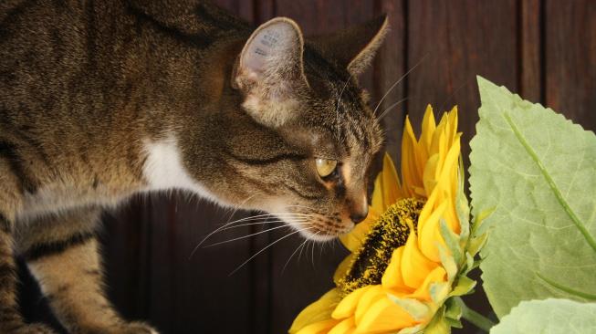 Lilie mohou kočku zabít, k otravě stačí i jejich pyl
