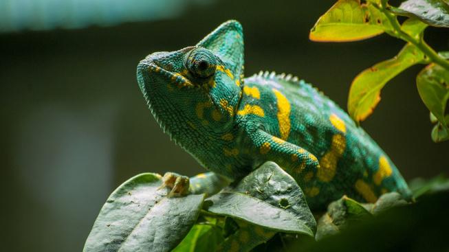 Jak začít s chovem chameleona