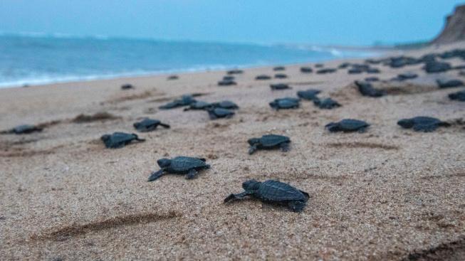 Vylíhnutí a úprk do moře. Statisíce mláďat karety zaplavily indickou pláž