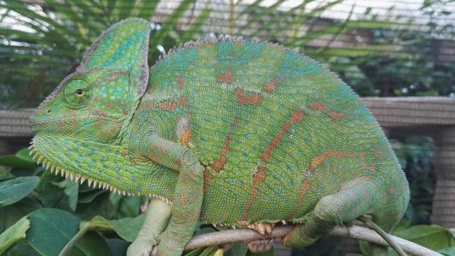 Druhy chameleonů vhodné pro začátečníky