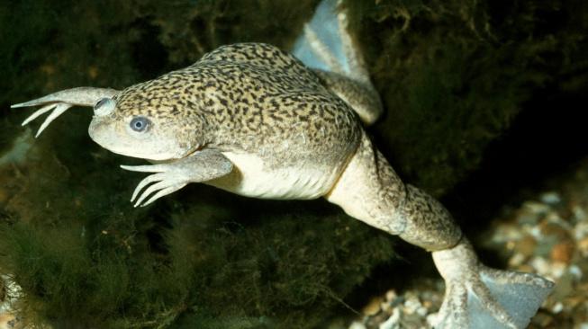 Drápatka vodní: Podivná žába bez jazyka, která sloužila jako těhotenský test