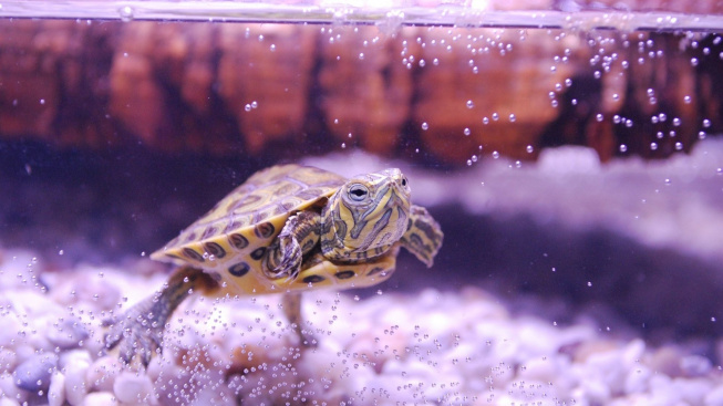 Jak dlouho žijí želvy a jak jim život prodloužit?