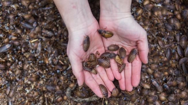 Jak chovat krmné šváby a nezamořit si byt