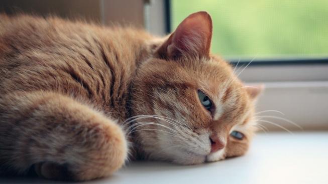 Jak chránit kočku před vedrem, úpal ji může zabít