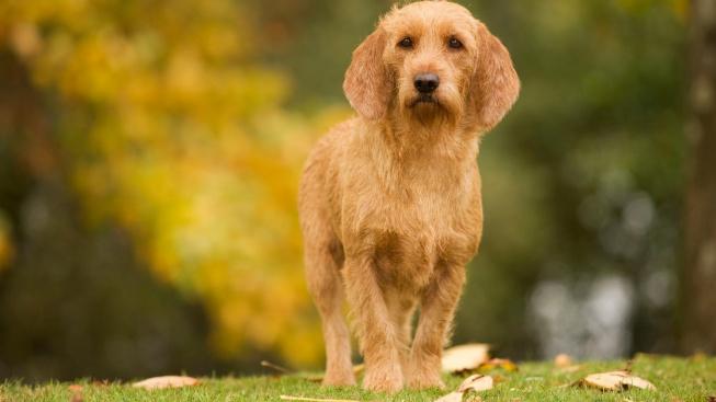 Plavý bretaňský baset má pověst nesnášenlivého psa neprávem