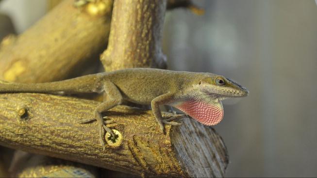 Anolis rudokrký - tak trochu leguán a tak trochu chameleon vhodný i pro začátečníky