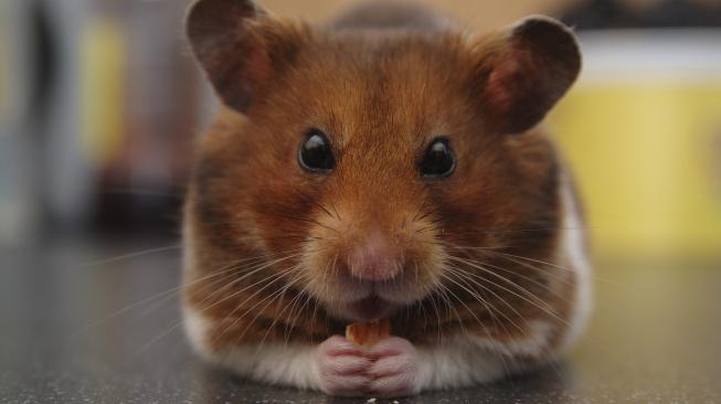Jak na výtok z uší u malých savců