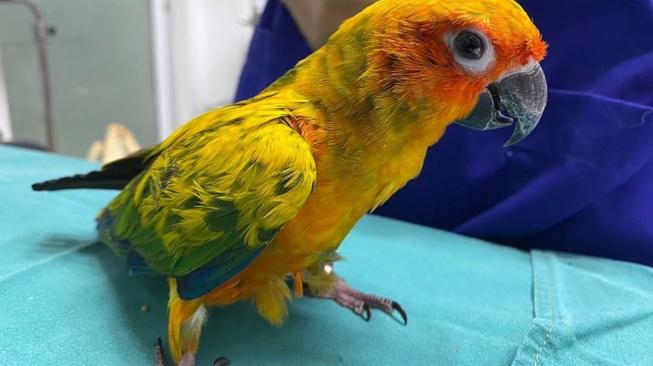 Papouščí zlodějku prozradila bolest břicha: V žaludku měla 21 diamantů
