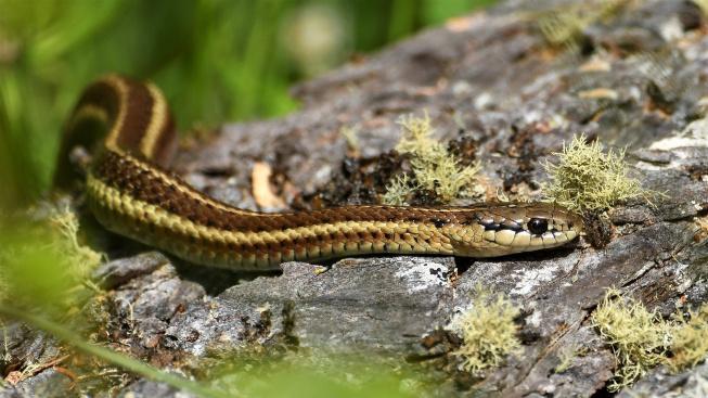 Užovka proužkovaná: Přátelský had vhodný i pro dětské chovatele