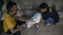 Nejmenší kráva