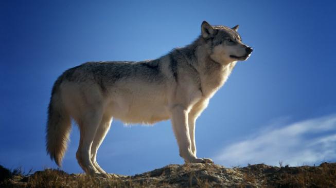 Psi mají vrozenou schopnost rozumět lidem mnohem víc než vlci
