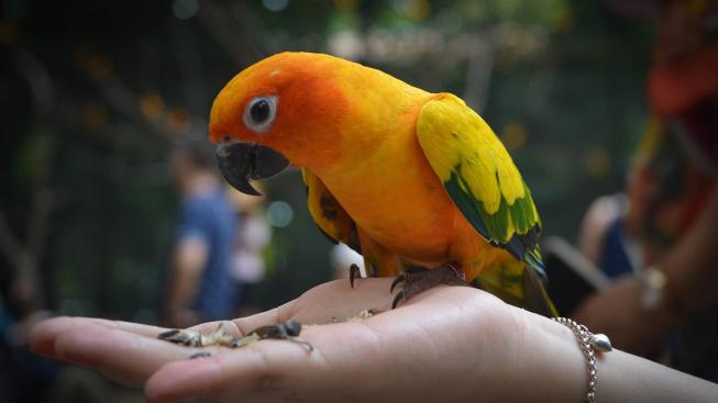 Jak socializovat mladého papouška