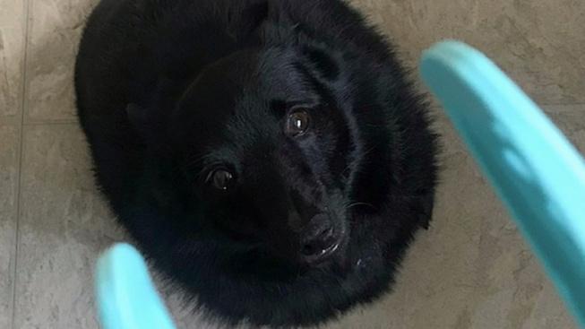 Pejsek vypadá jako černá díra, je z něj hit sociálních sítí