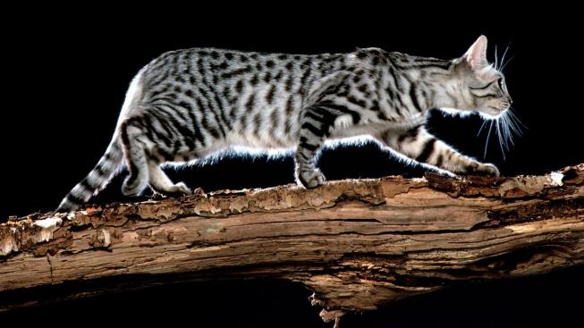 Kalifornská třpytivá kočka - plemeno, které doplatilo na svou exkluzivitu