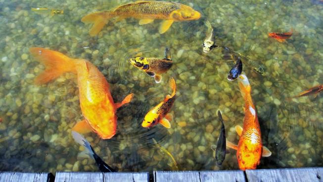 Jak vybírat rybky do zahradního jezírka?