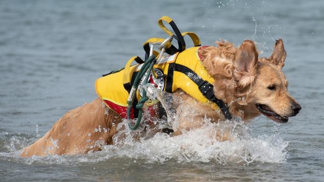 Psí plavčík Baloo zvládne z rozbouřeného moře zachránit i tři lidi naráz