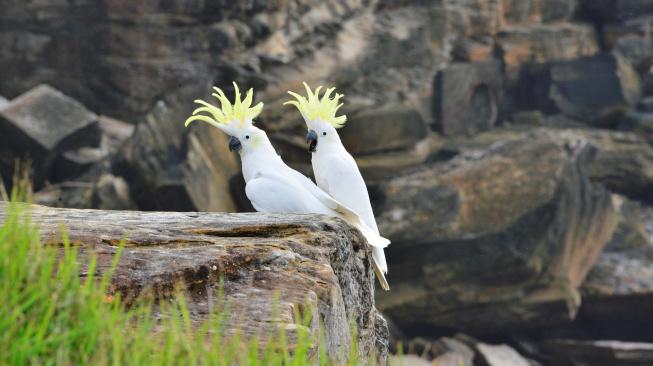 Papoušci kakadu se učí od chytřejších kolegů, jak správně rabovat popelnice
