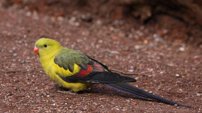 Papoušek kouřový - elegantní letec, který potřebuje větší voliéru