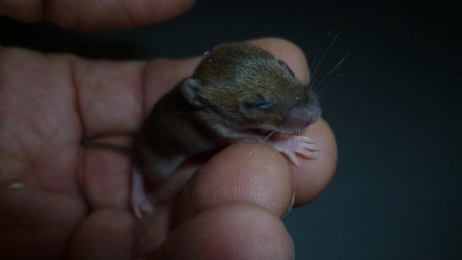 Myší novorozeně přežilo svou smrt a našlo novou mámu