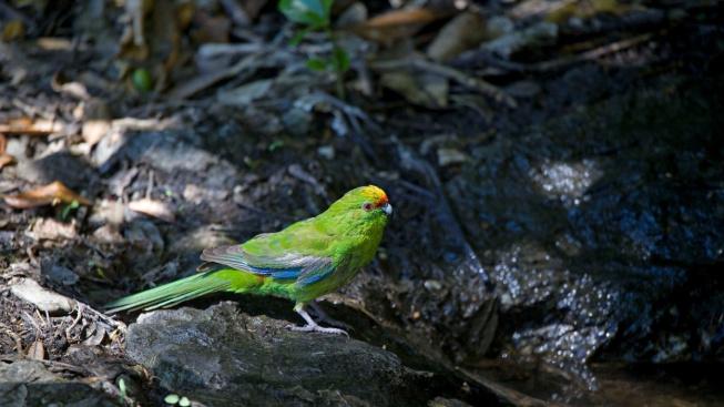 Kakariki - přátelský, tichý, ale trochu nepořádný papoušek