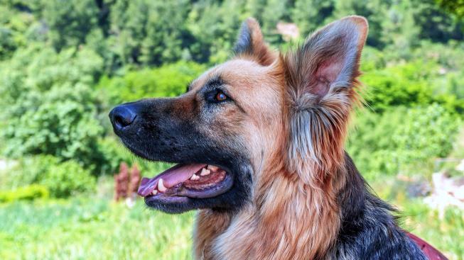 Vědci zjistili, že pestrost psí srsti určila evoluce, nikoliv šlechtění