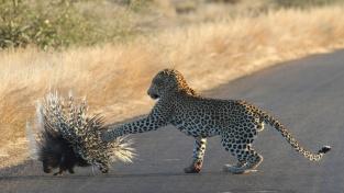 Hladový levhart se nechtěl vzdát představy o dikobrazovi k večeři. Jen si lízal rány