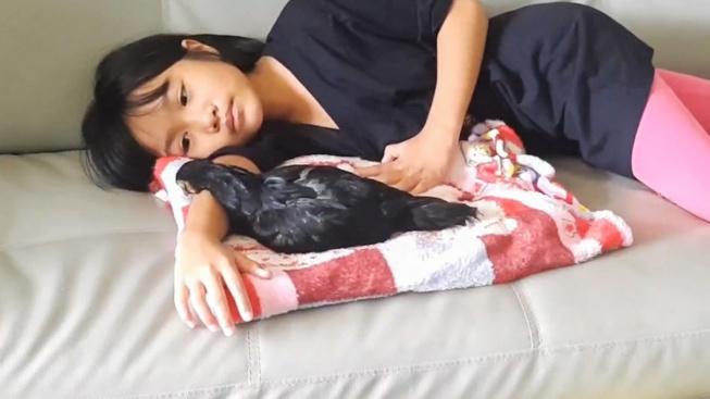 Bizarní přátelství: Dívenka chová kuře jako domácího mazlíčka