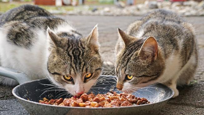 Pět neobvyklých kočičích projevů při jídle