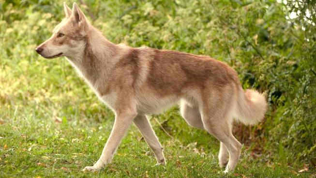 Saarlosův vlčák - přátelský, ale plachý pes s vlčí krví