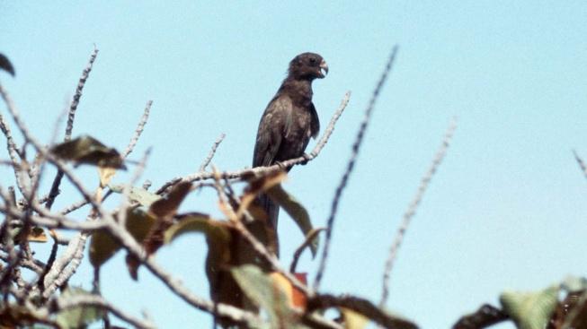 """Vaza - nevýrazní papoušci, jejichž samice si vytváří početné samčí """"harémy"""""""