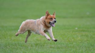 """Australský honácký pes, ten """"nejlepší a nejvytrvalejší honák na světě"""""""