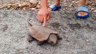 Vzácnou želvu přejelo auto. Měla ale štěstí na zachránce, který ji nesnědl