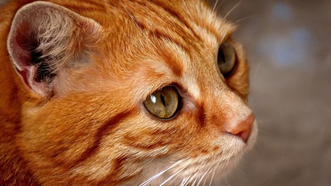 Objeven gen, který určuje barvu kočičí srsti. Působí v embryu už pár dní po oplození