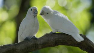 Papoušci umí používat jednoduché nástroje i v divočině. Vědci je přistihli při činu