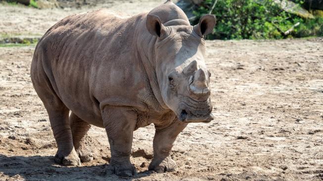 Útěk před nadrženým samcem stál nosorožčí samici život. Utopila se
