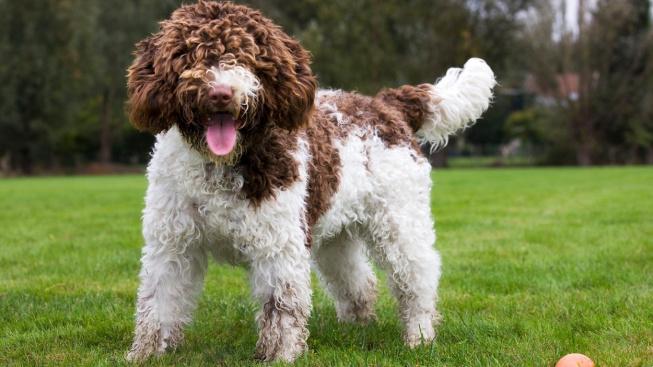 Španělský vodní pes - okouzlující vlasáč, který nesnáší nudu