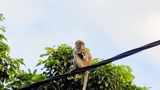 """Opice unesla malé štěně, tři dny ho držela jako """"rukojmí"""""""