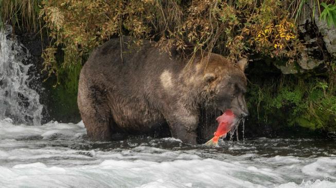 Který medvěd zvládl nejlépe ztloustnout? V nevšední soutěži můžete hlasovat i vy