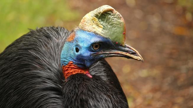 Pravěcí lidé chovali nečekaný druh ptáků