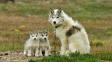 Kanadský husky: Vzácný pes, za kterého zaplatíte šestimístnou částku